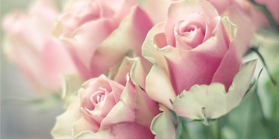 gallery-1432929116-rose-facts-index-de